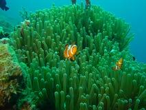 Pesci Nemo del pagliaccio Immagini Stock Libere da Diritti