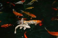 Pesci operati della carpa Fotografia Stock