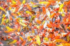 Pesci operati della carpa Fotografia Stock Libera da Diritti