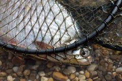 Pesci pescati Immagini Stock