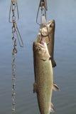 Pesci pescati fotografia stock