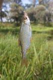 Pesci pescati Fotografie Stock Libere da Diritti