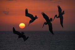 Pesci pescati pellicani Fotografie Stock Libere da Diritti