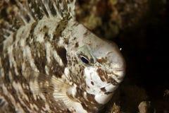 Pesci - pesci del coniglio Immagine Stock Libera da Diritti
