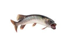 Pesci. Pike Fotografia Stock