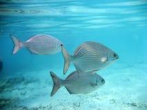 Sui pesci vicini Immagine Stock