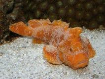 Pesci rari del velluto di LEMBEH - Paraploactis kagoshimen Fotografia Stock Libera da Diritti