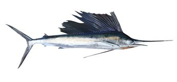 Pesci reali del pesce vela del Pacifico isolati su bianco Fotografia Stock Libera da Diritti