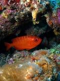 Pesci rossi Immagini Stock Libere da Diritti