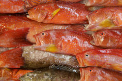 Pesci rossi fotografie stock
