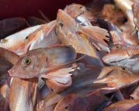 Pesci rossi del capone Fotografie Stock