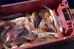 Pesci rossi del capone Fotografia Stock Libera da Diritti