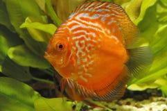 Pesci rossi del discus Fotografia Stock