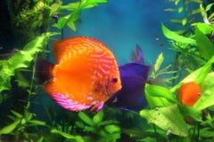Pesci rossi del discus in acquario immagini stock libere da diritti