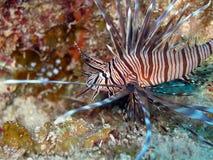 Pesci rossi del leone Immagini Stock