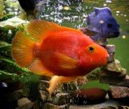 Pesci rossi del pappagallo Fotografie Stock