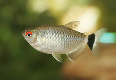 Pesci rossi dell'occhio. Fotografia Stock Libera da Diritti