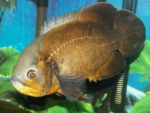 Pesci rossi di Oscar Immagini Stock