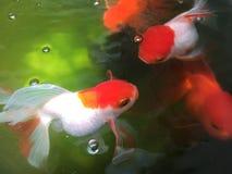 Pesci rossi in stagno Fotografie Stock