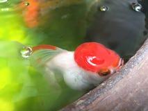 Pesci rossi in stagno Fotografie Stock Libere da Diritti