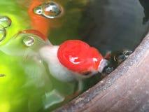 Pesci rossi in stagno Immagine Stock