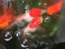 Pesci rossi in stagno Immagine Stock Libera da Diritti