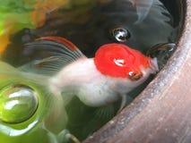Pesci rossi in stagno Immagini Stock