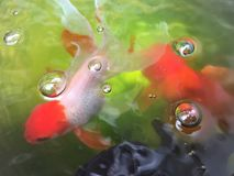 Pesci rossi in stagno Fotografia Stock