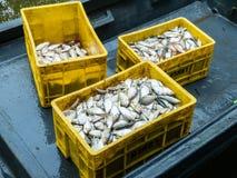 Pesci in scatole Immagine Stock