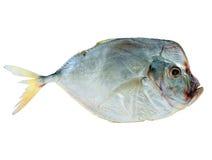 Pesci secchi su una priorità bassa bianca Fotografia Stock