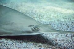 Pesci sega di Longcomb immagini stock