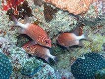 Pesci Seychelles del soldato Fotografia Stock Libera da Diritti