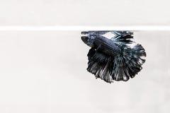 Pesci siamesi di combattimento Immagine Stock Libera da Diritti