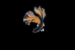 Pesci siamesi di combattimento Immagini Stock