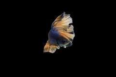 Pesci siamesi di combattimento Fotografia Stock Libera da Diritti