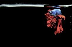 Pesci siamesi di combattimento Pesci di Betta Arte dell'illustrazione colouful Fotografie Stock Libere da Diritti