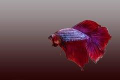 Pesci siamesi rossi di combattimento Immagine Stock