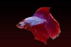 Pesci siamesi rossi di combattimento Fotografia Stock