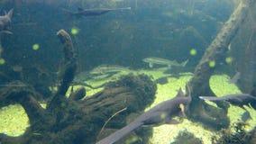 Pesci spatola della famiglia di Polyodontiae che girano in grande acquario dell'acqua dolce archivi video