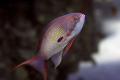 Pesci: Squamipinnis di Pseudanthias - maschio Immagini Stock