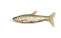 Pesci su bianco Fotografia Stock