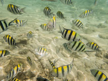 Pesci su fondale marino sabbioso Fotografia Stock Libera da Diritti