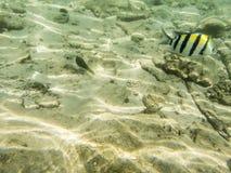 Pesci su fondale marino sabbioso Fotografia Stock