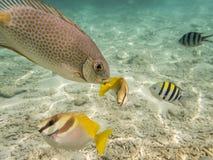 Pesci su fondale marino sabbioso Immagine Stock