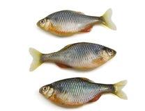 Pesci su priorità bassa bianca Immagini Stock