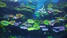 Pesci subacquei ed animali marini vicino alla bella barriera corallina variopinta sull'indiano tropicale ed all'oceano Pacifico i archivi video