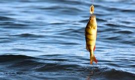 Pesci sull'amo Immagini Stock Libere da Diritti