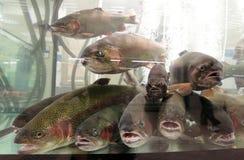 Pesci in tensione della trota dell'acquario da vendere immagine stock