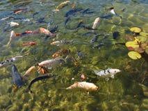 Pesci timidi che cercano alimento Immagine Stock Libera da Diritti