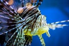 Pesci tropicali Fotografia Stock Libera da Diritti